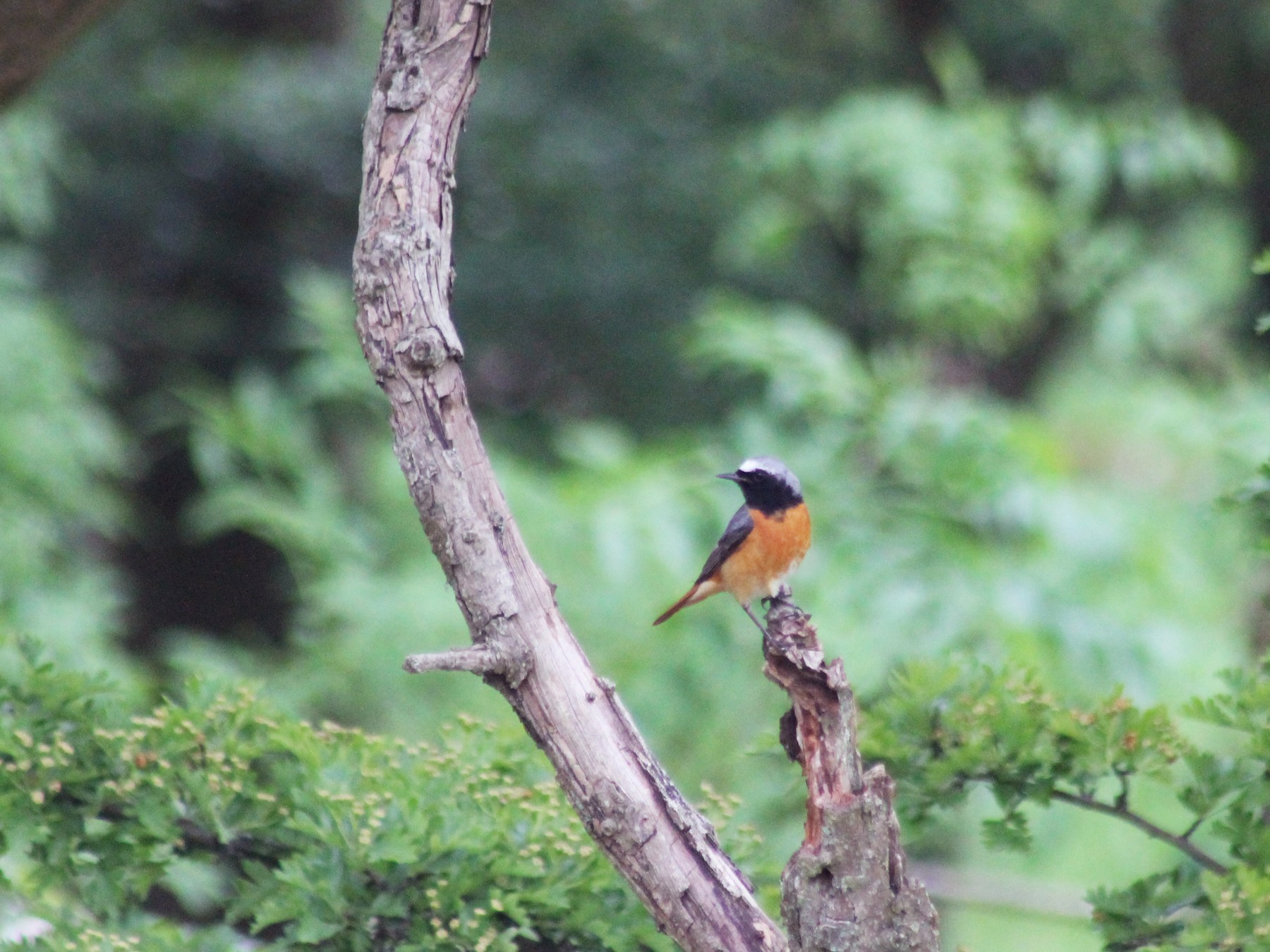 Common Redstart - Mandy Cumming