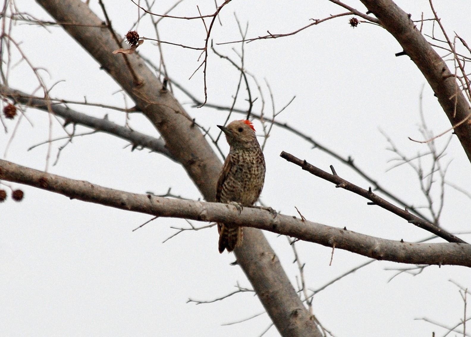 Little Gray Woodpecker - Nigel Voaden