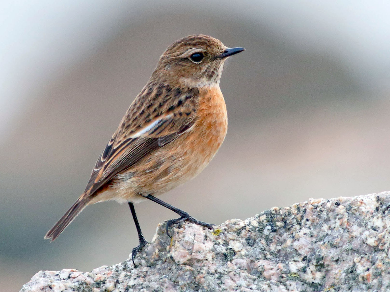 European Stonechat - Mark Berney