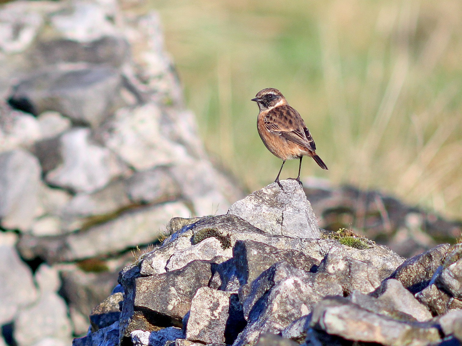 European Stonechat - Ray Scally