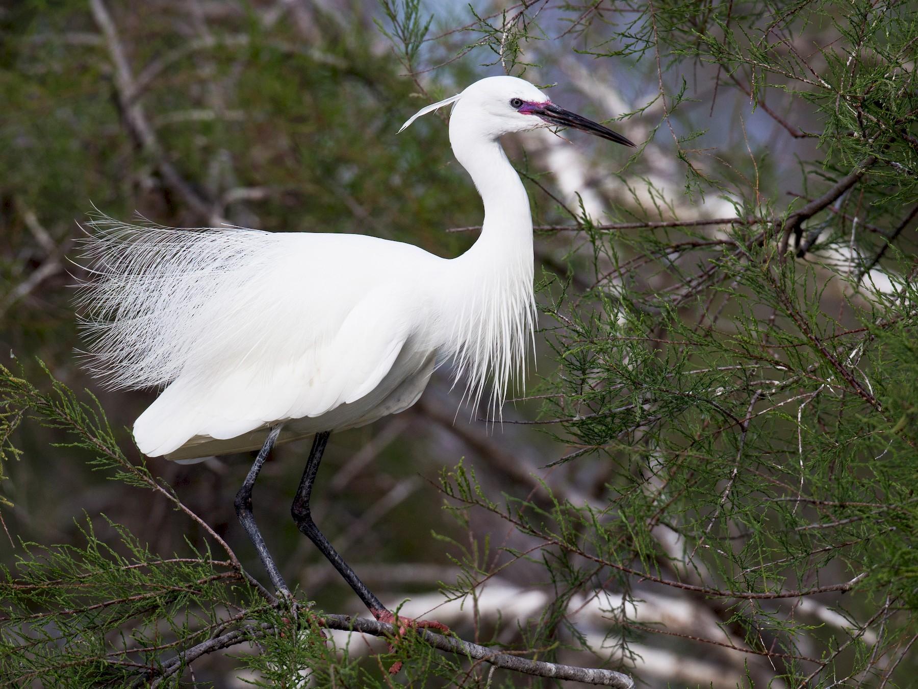 Little Egret - Ian Davies