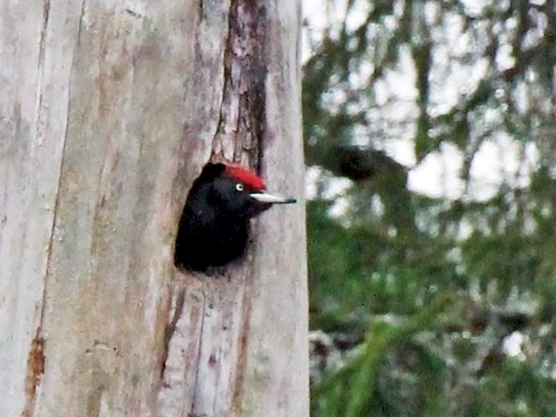 Black Woodpecker - Paul Chapman
