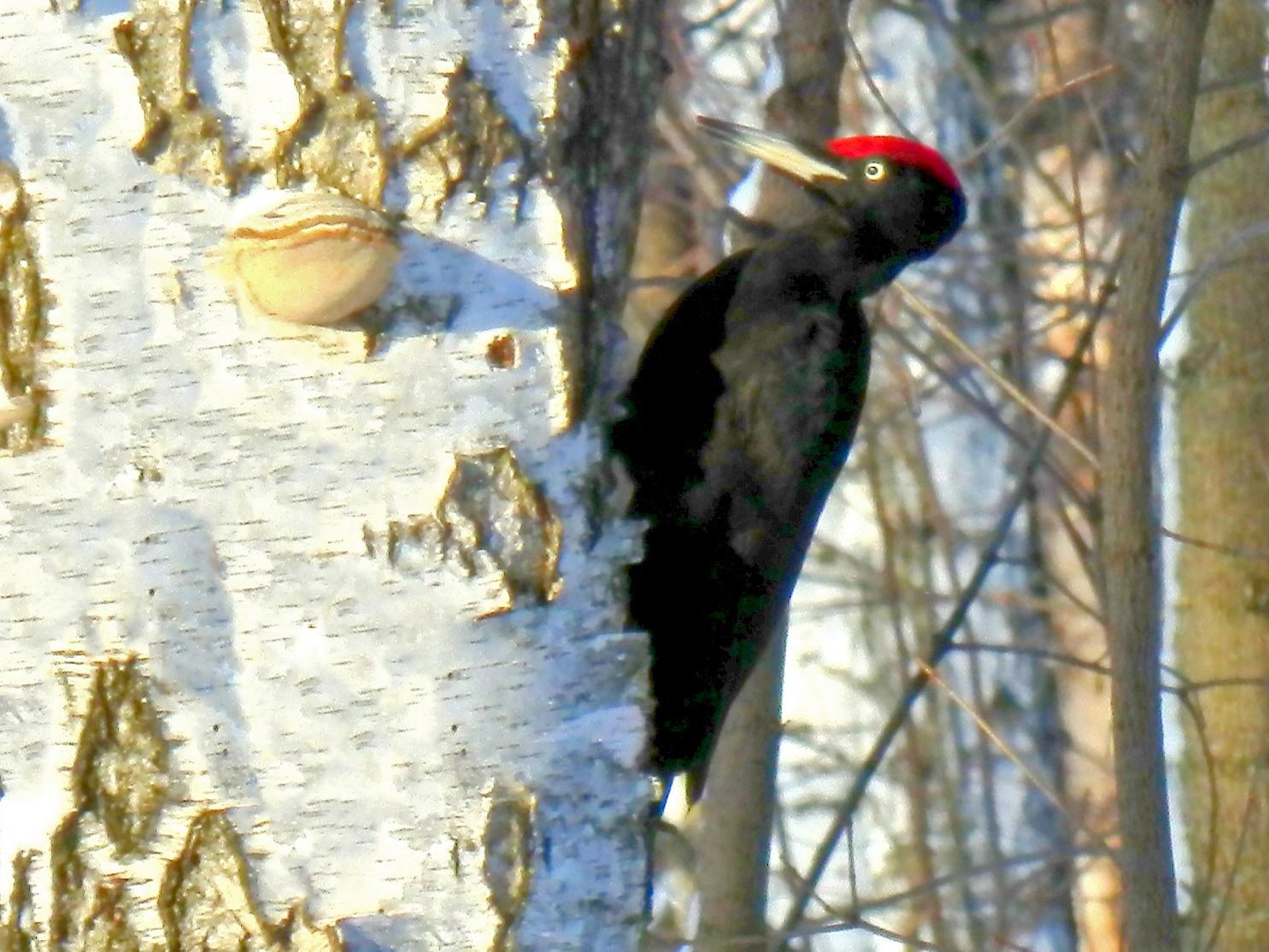 Black Woodpecker - Scott Young