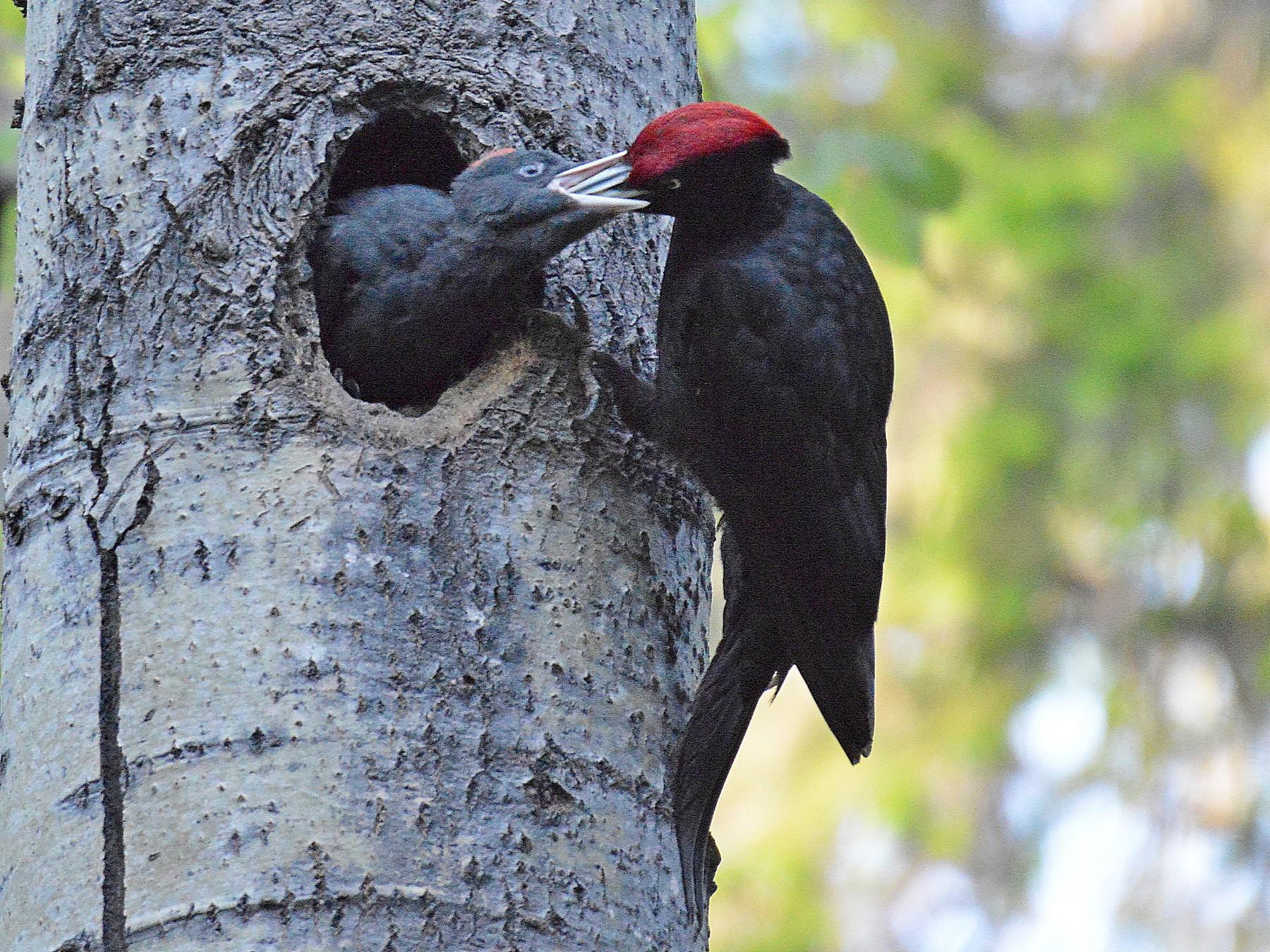 Black Woodpecker - Dan Murphy
