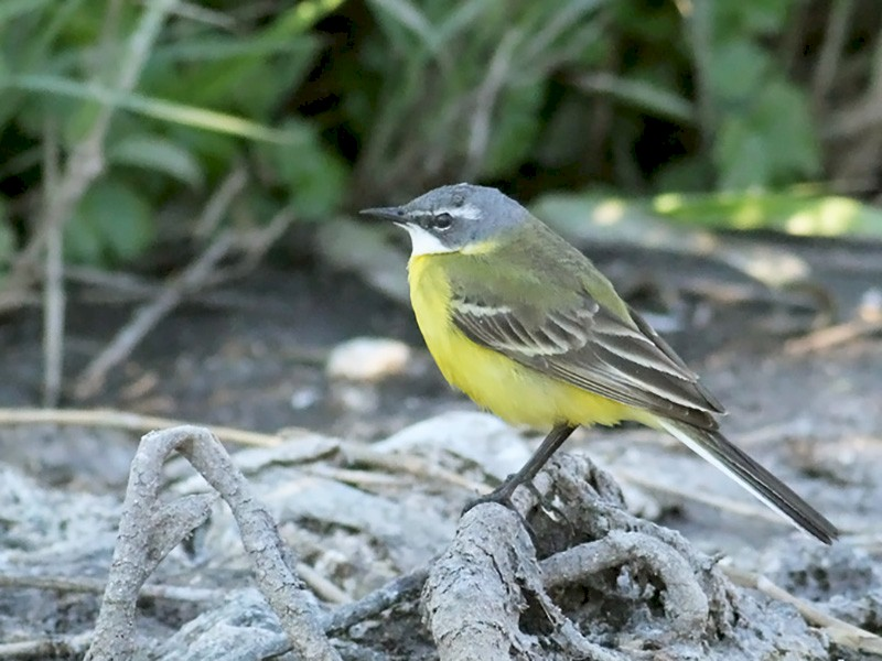 Western Yellow Wagtail - Adrien Mauss