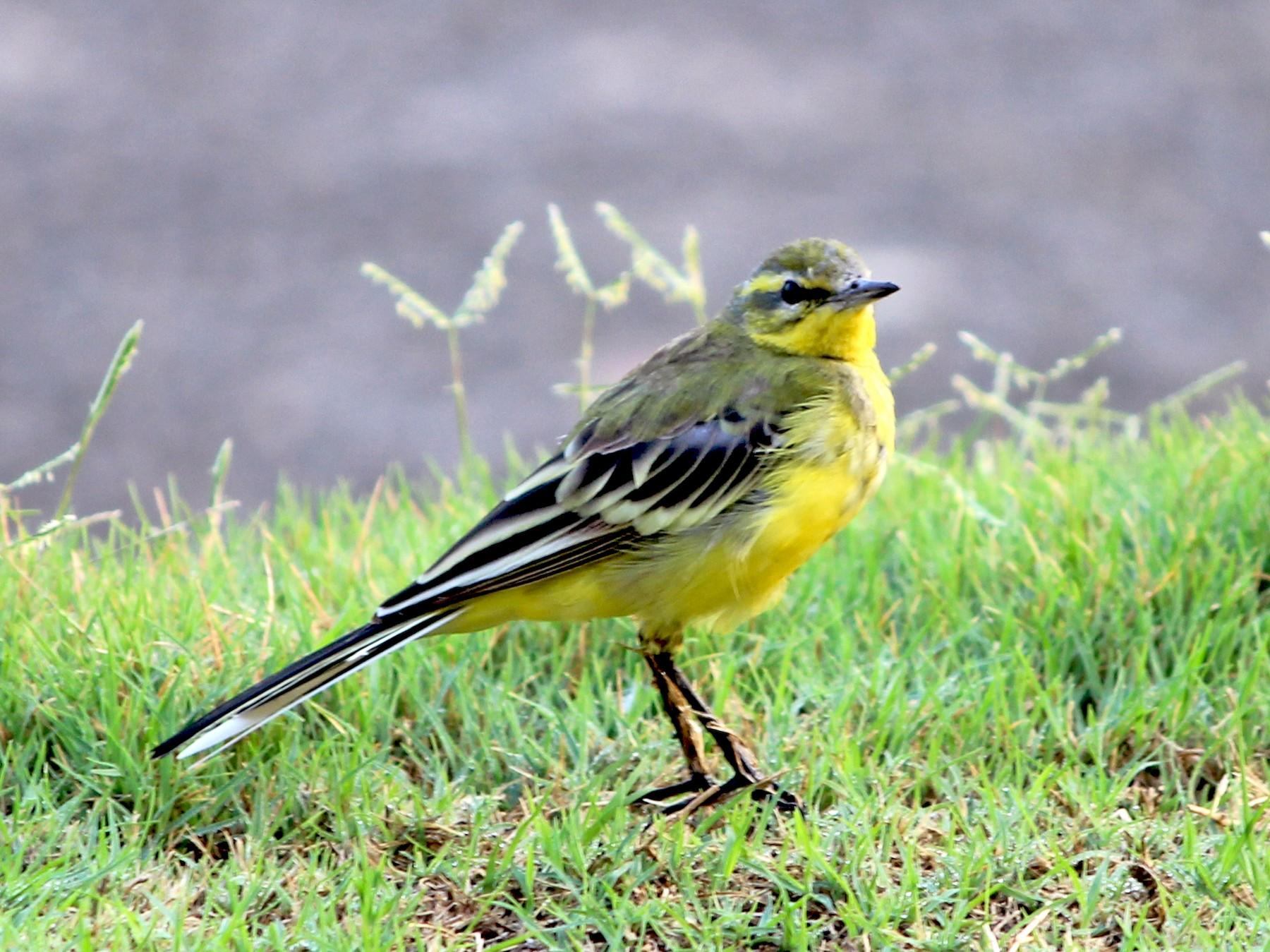 Western Yellow Wagtail - Komal Agrawal