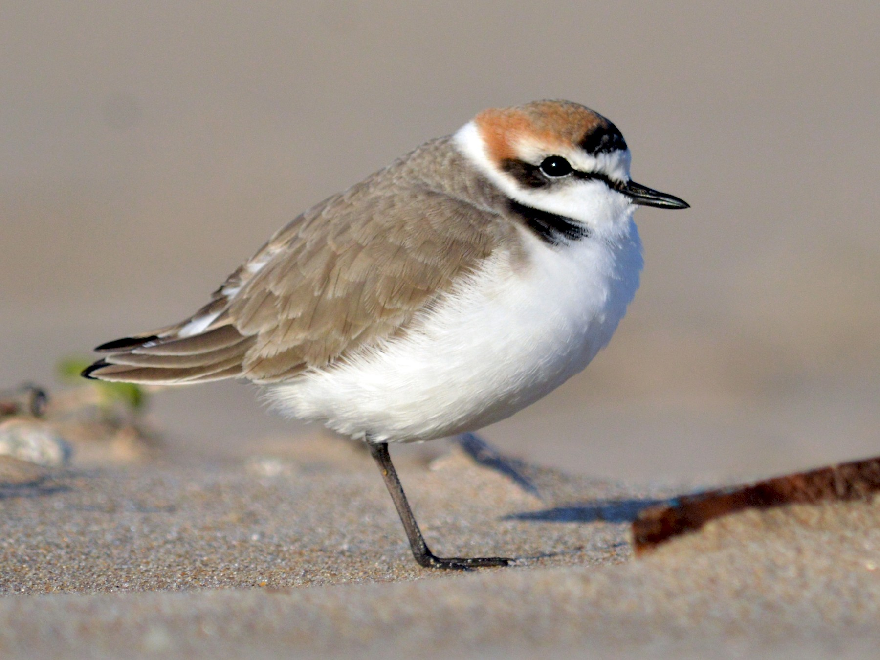 Kentish Plover - Mário Estevens