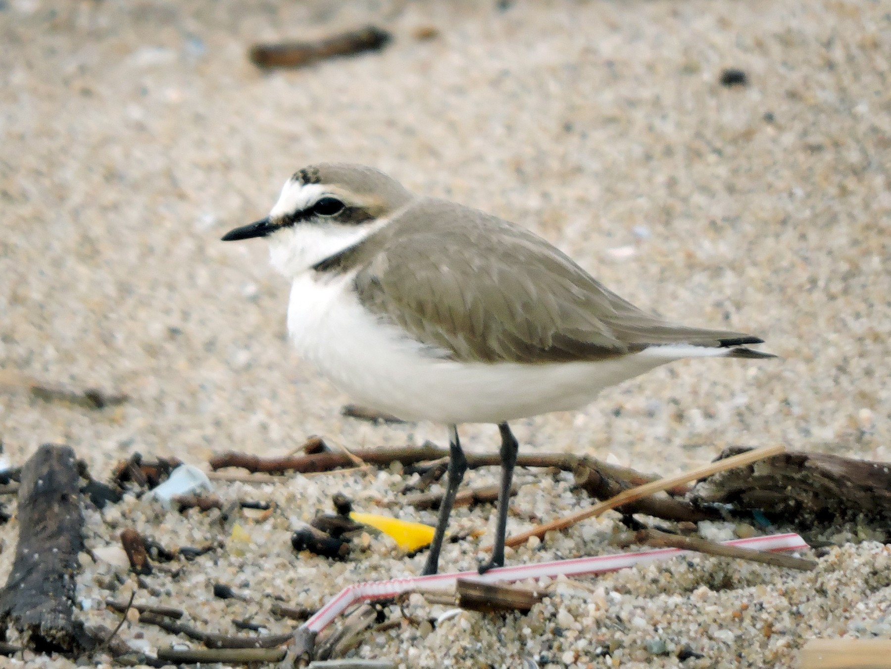 Kentish Plover - L M