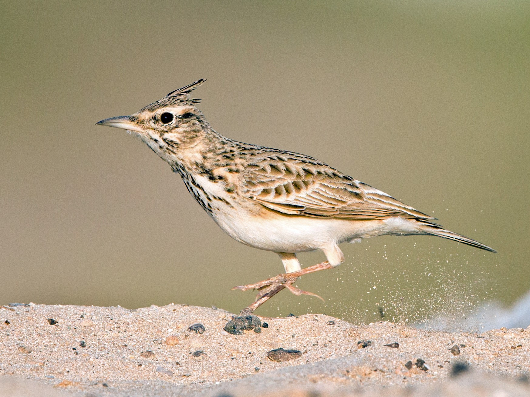 Crested Lark - Rhys Marsh