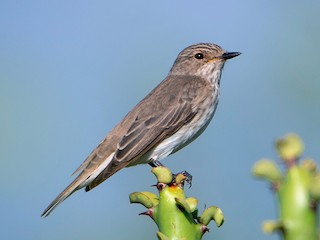 - Spotted Flycatcher