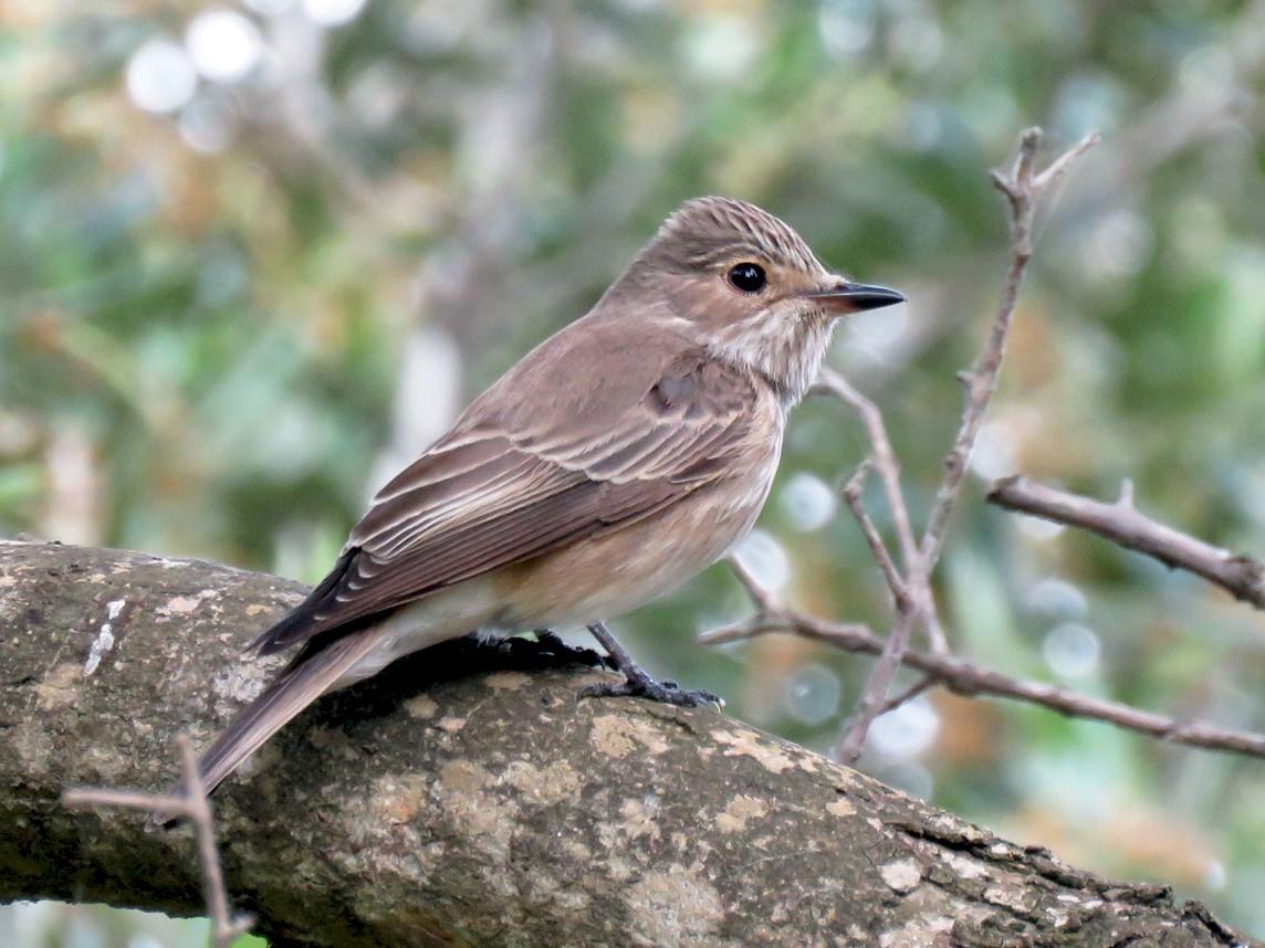 Spotted Flycatcher - Pedro Fernandes