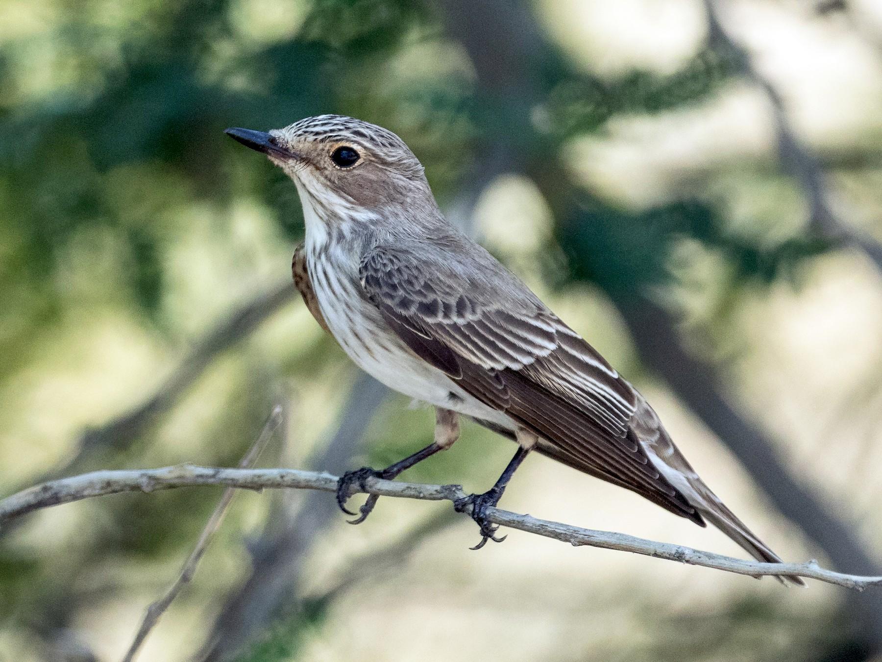 Spotted Flycatcher - Markus Craig