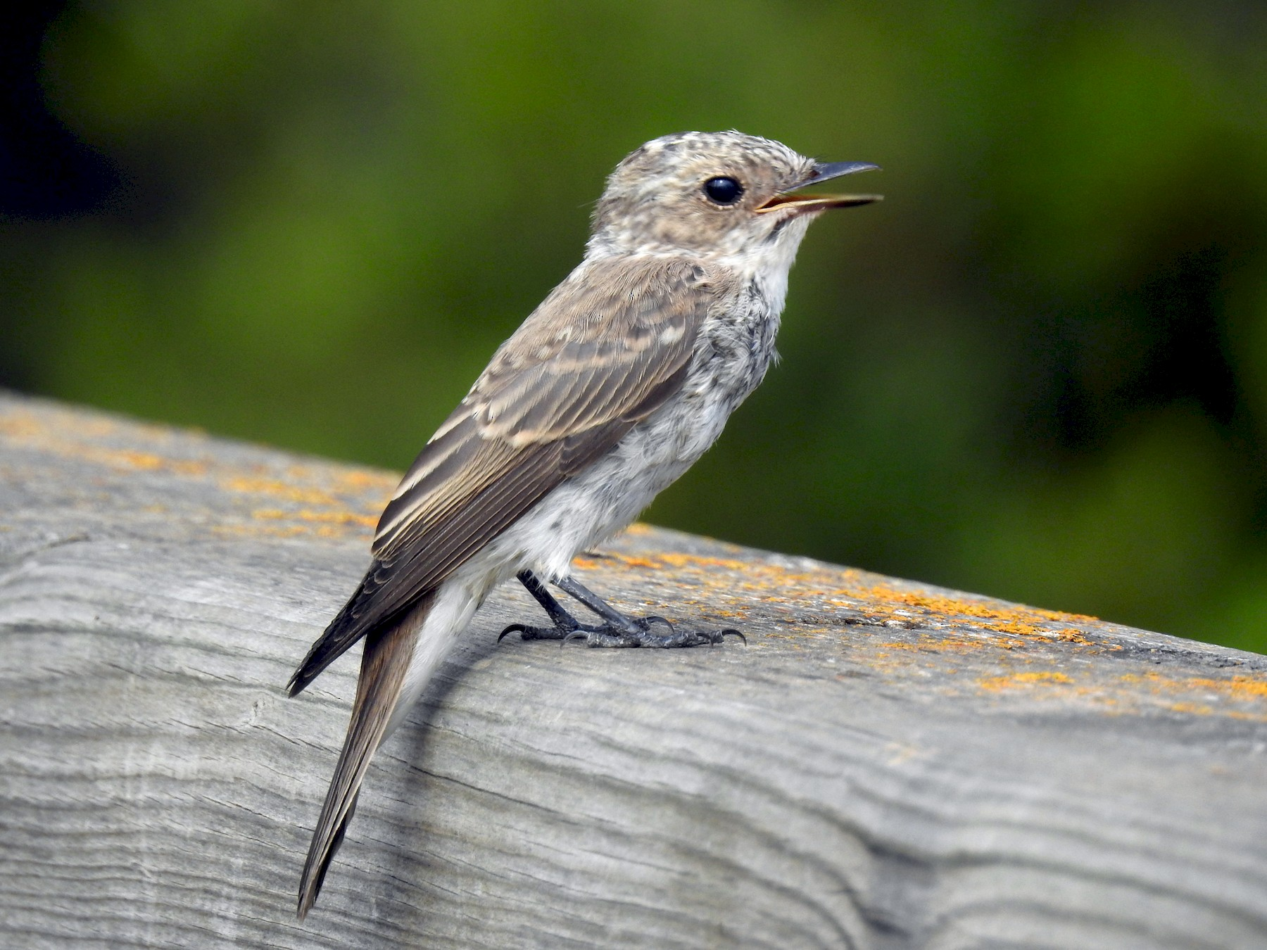 Spotted Flycatcher - Cos van Wermeskerken