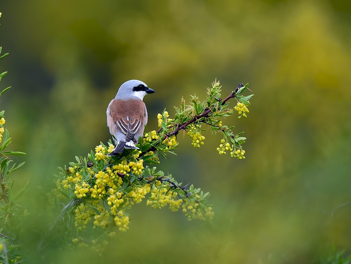 Red-backed Shrike - Ferit Başbuğ
