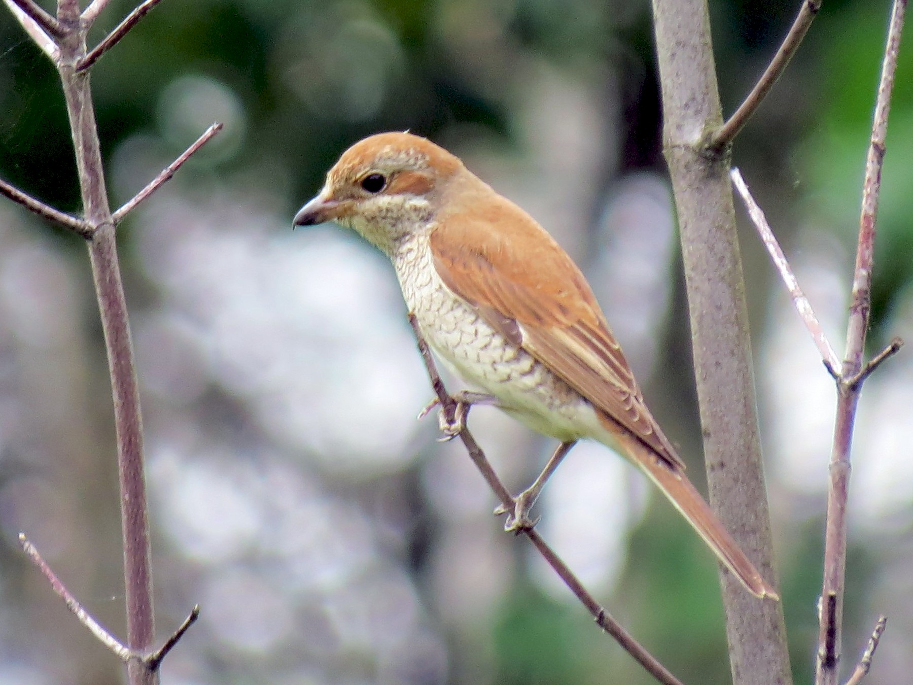 Red-backed Shrike - Anna Karp