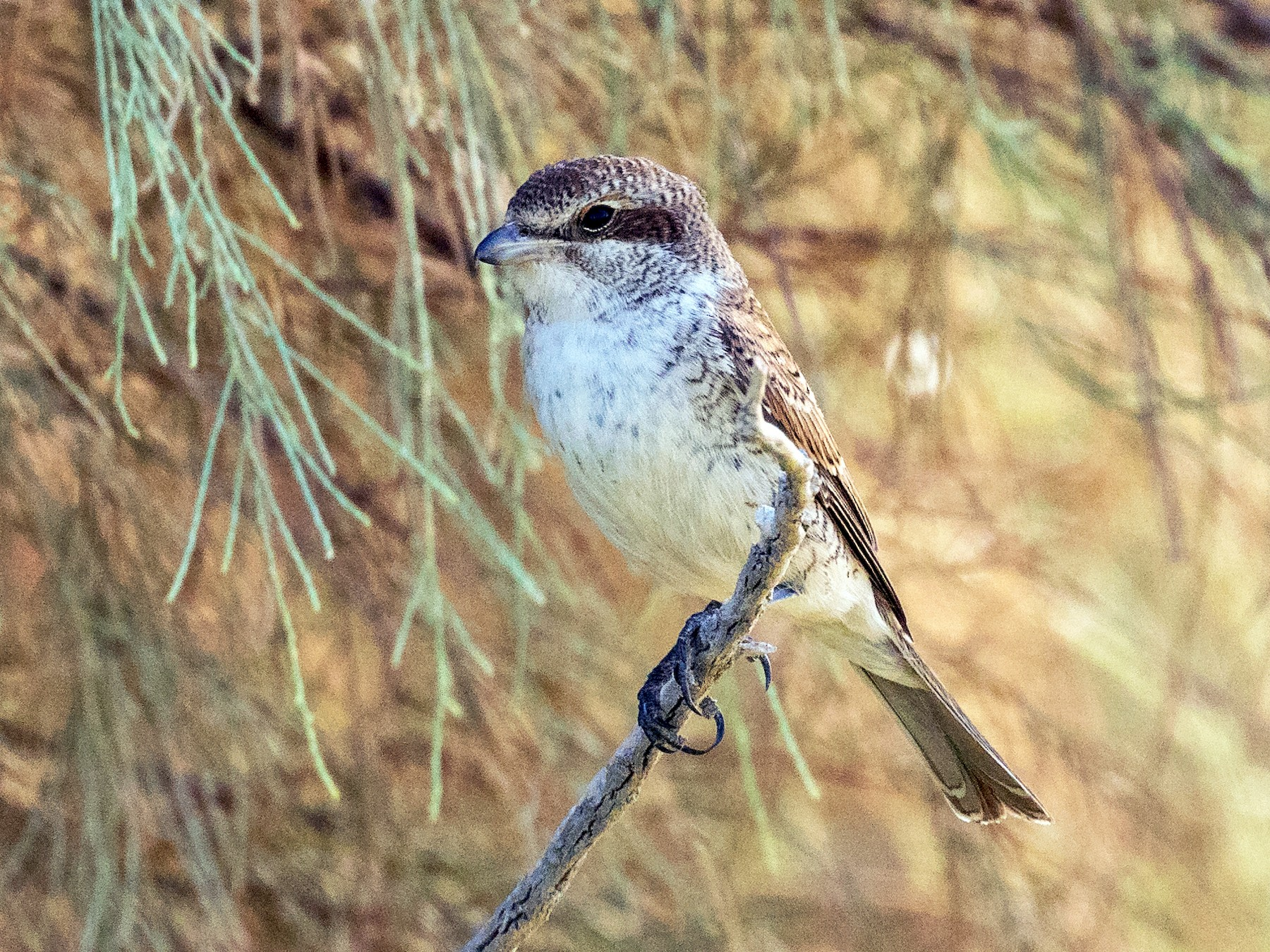 Red-backed Shrike - Markus Craig