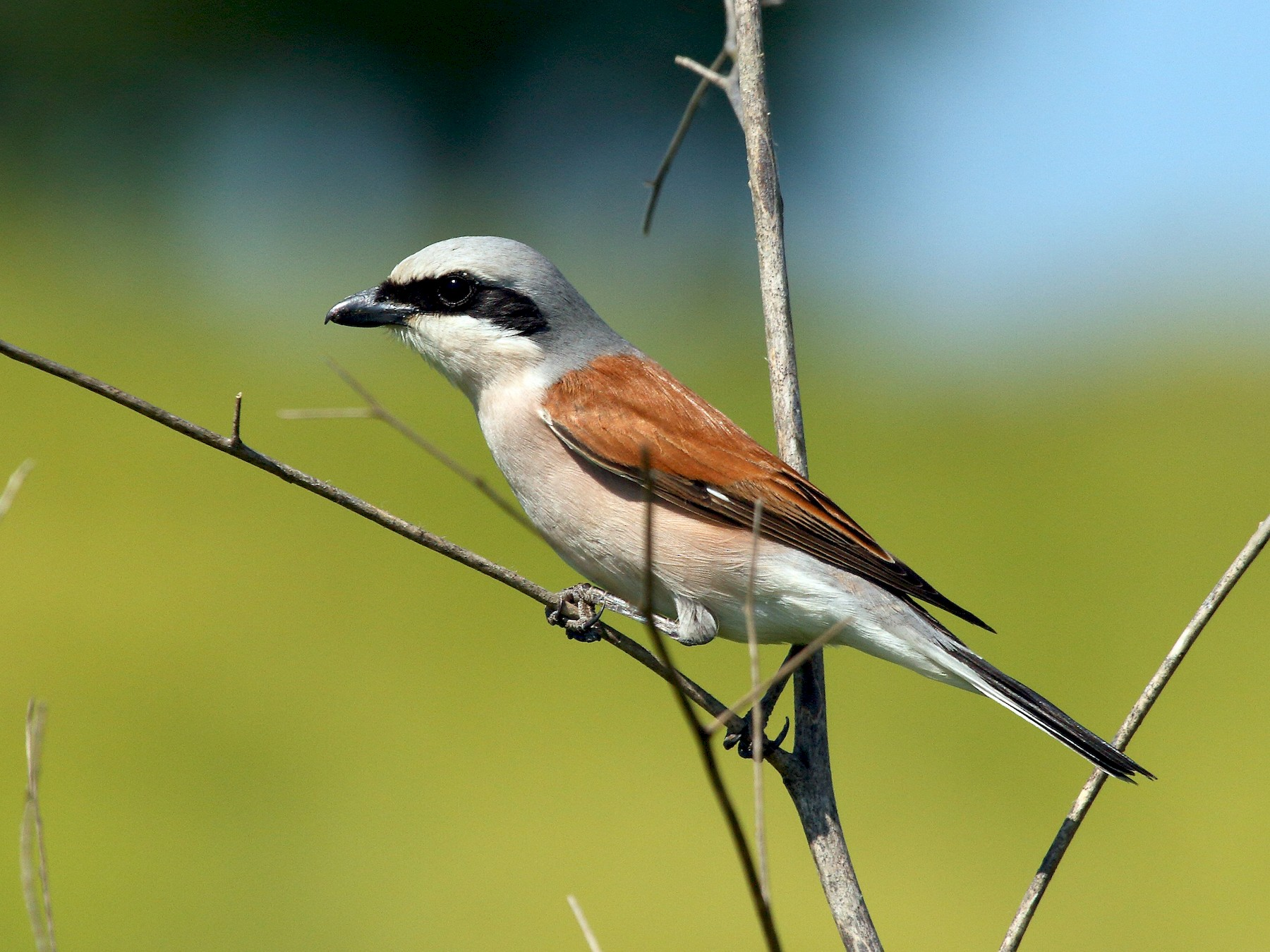 Red-backed Shrike - Patrick J. Blake