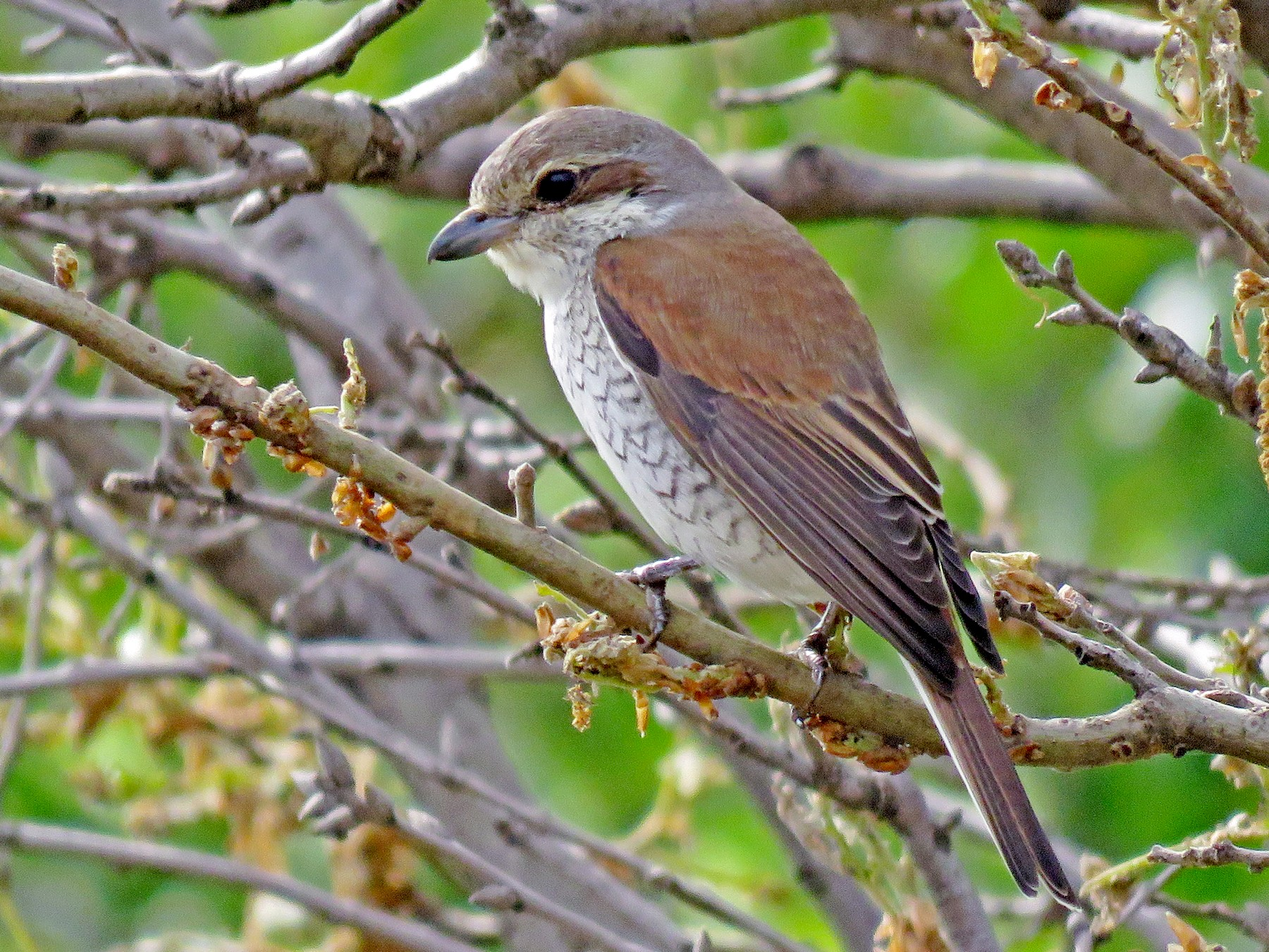 Red-backed Shrike - Dorna Mojab