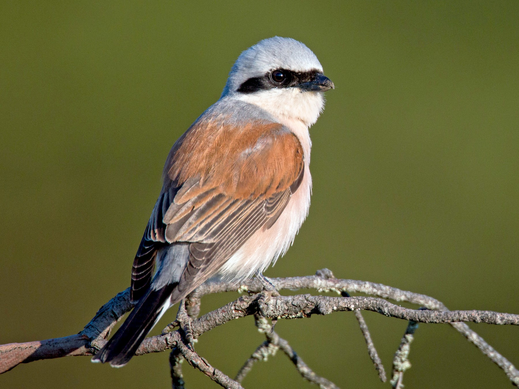 Red-backed Shrike - Ian Davies