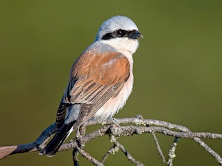 - Red-backed Shrike