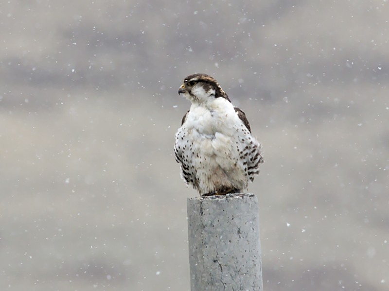 Saker Falcon - Tom Tarrant