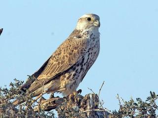 - Saker Falcon