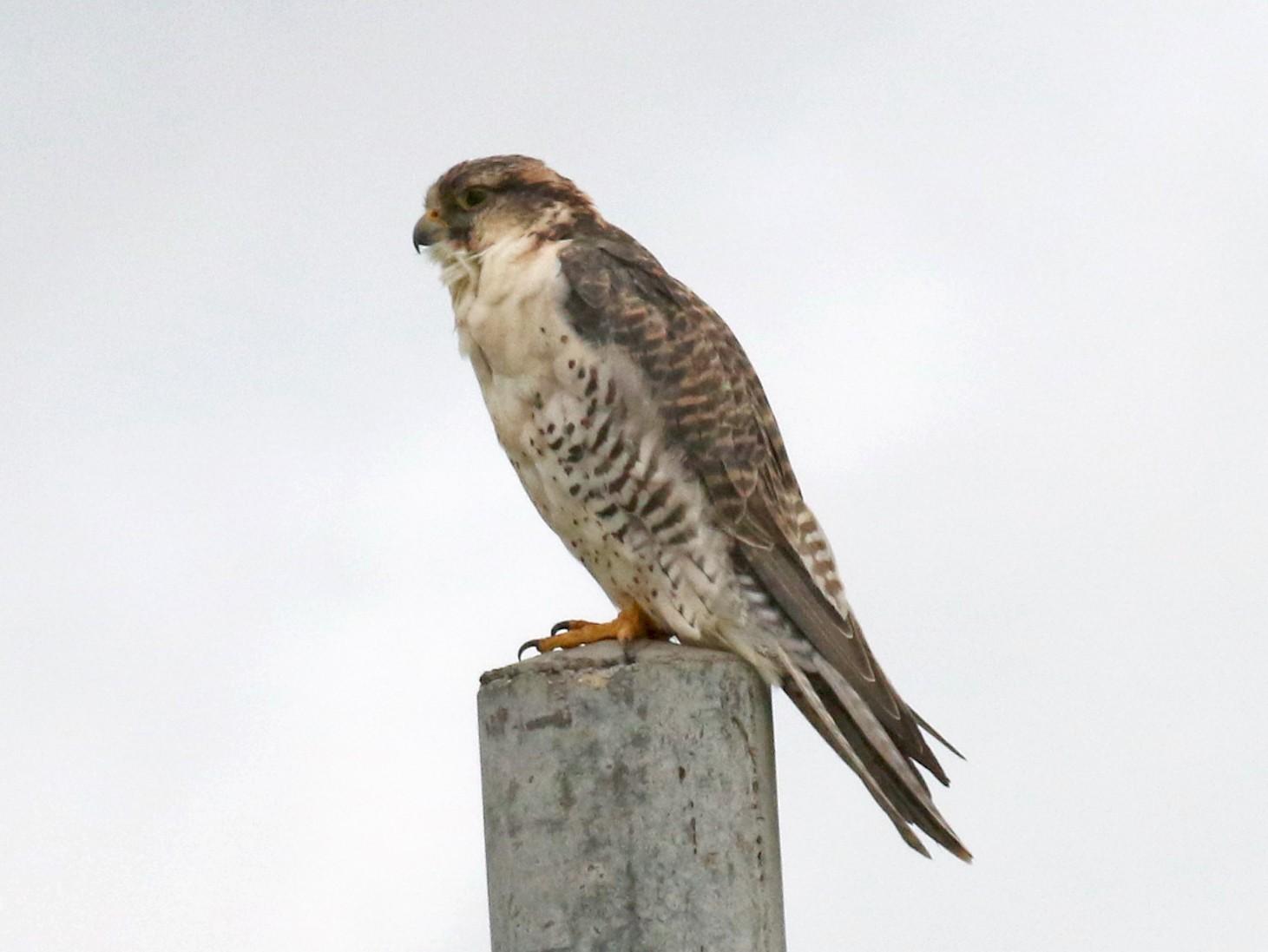 Saker Falcon - Dan Jones