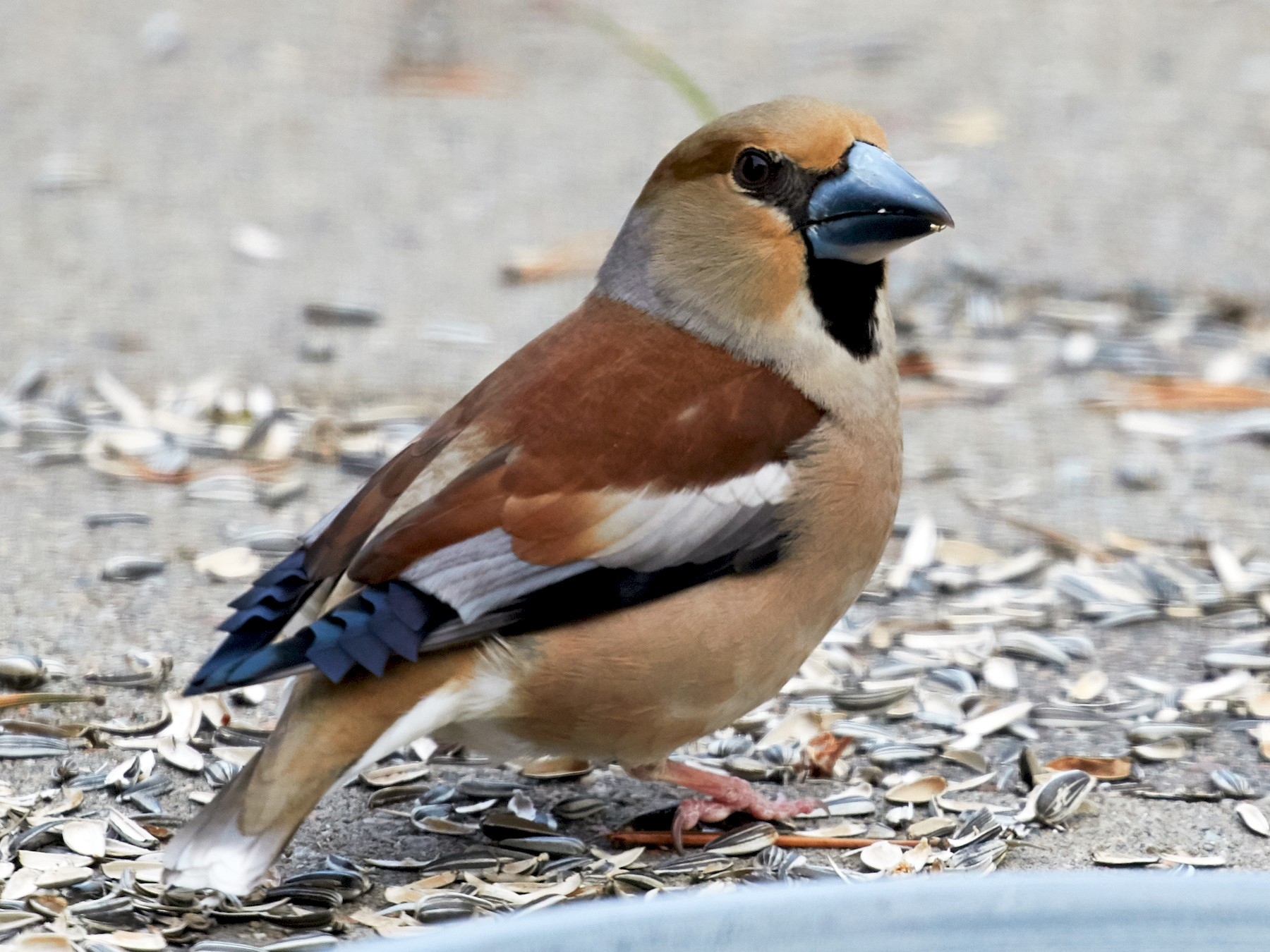 Hawfinch - Brooke Miller