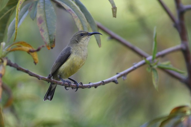 Variable Sunbird (Yellow-bellied)