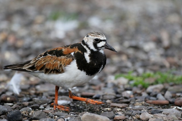 © Jay McGowan - Ruddy Turnstone