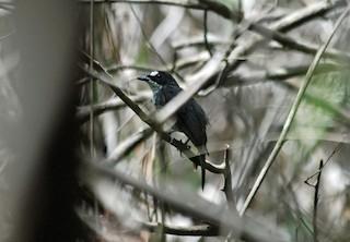 - White-browed Forest-Flycatcher
