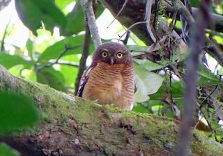 - Sjöstedt's Owlet