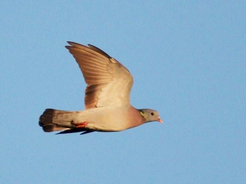 Stock Dove - Nuno  dos Santos
