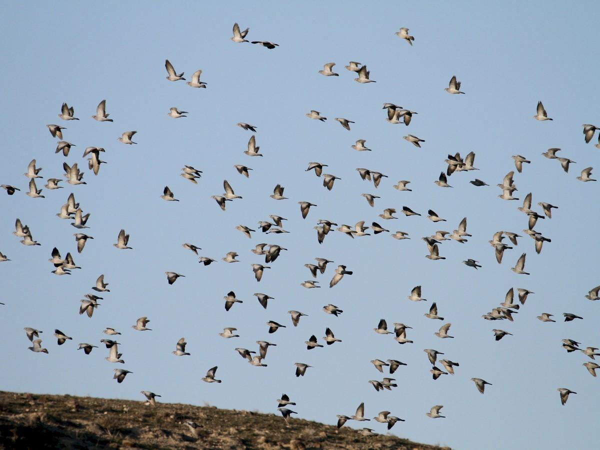 Stock Dove - Asghar Mohammadi Nasrabadi