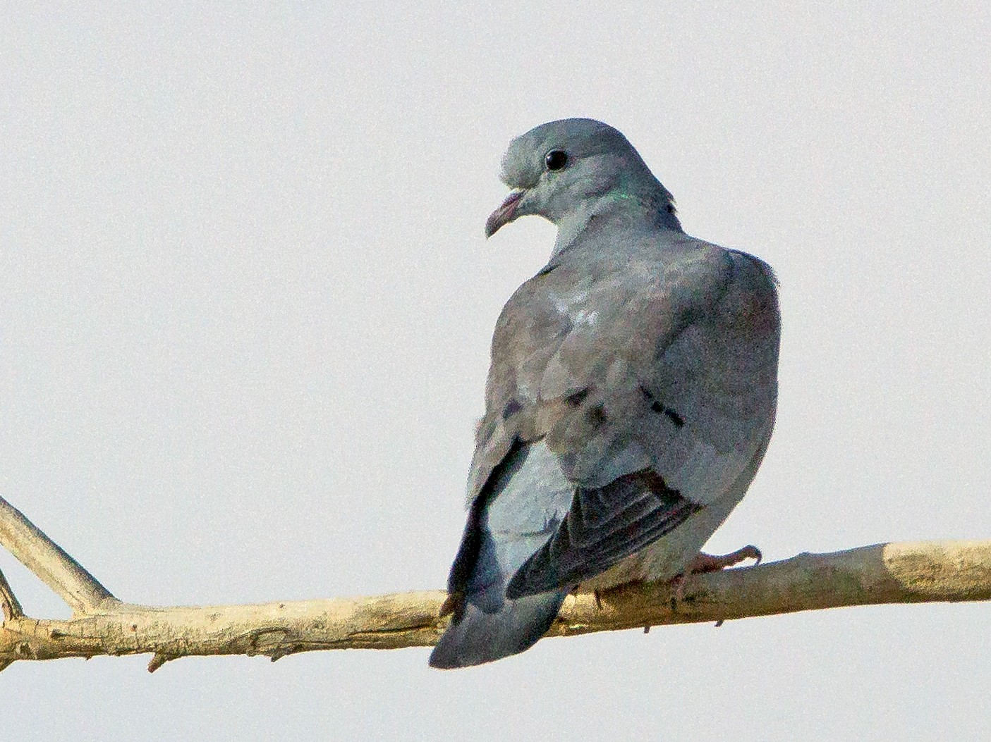 Stock Dove - Kuwait data