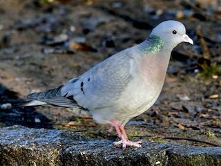 - Stock Dove