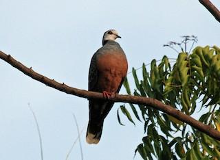 - Adamawa Turtle-Dove