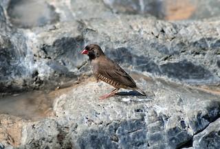 - Quailfinch (Black-faced)
