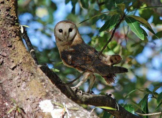 Barn Owl (African)
