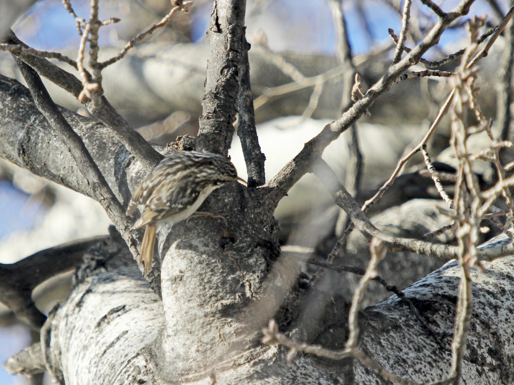 Short-toed Treecreeper - Dylan Pedro