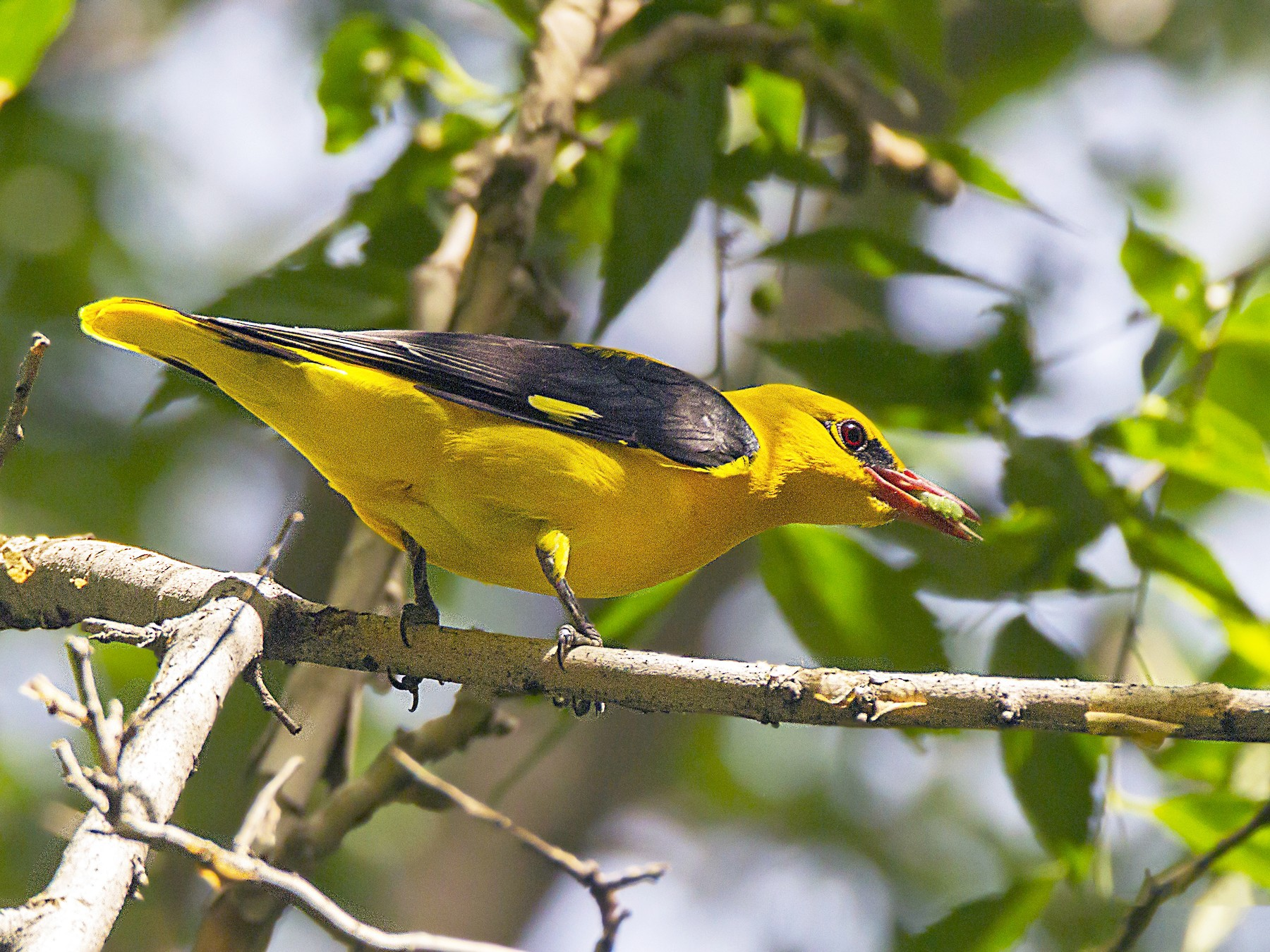 Eurasian Golden Oriole - Anonymous eBirder