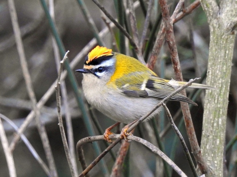 Common Firecrest - Rui Jorge