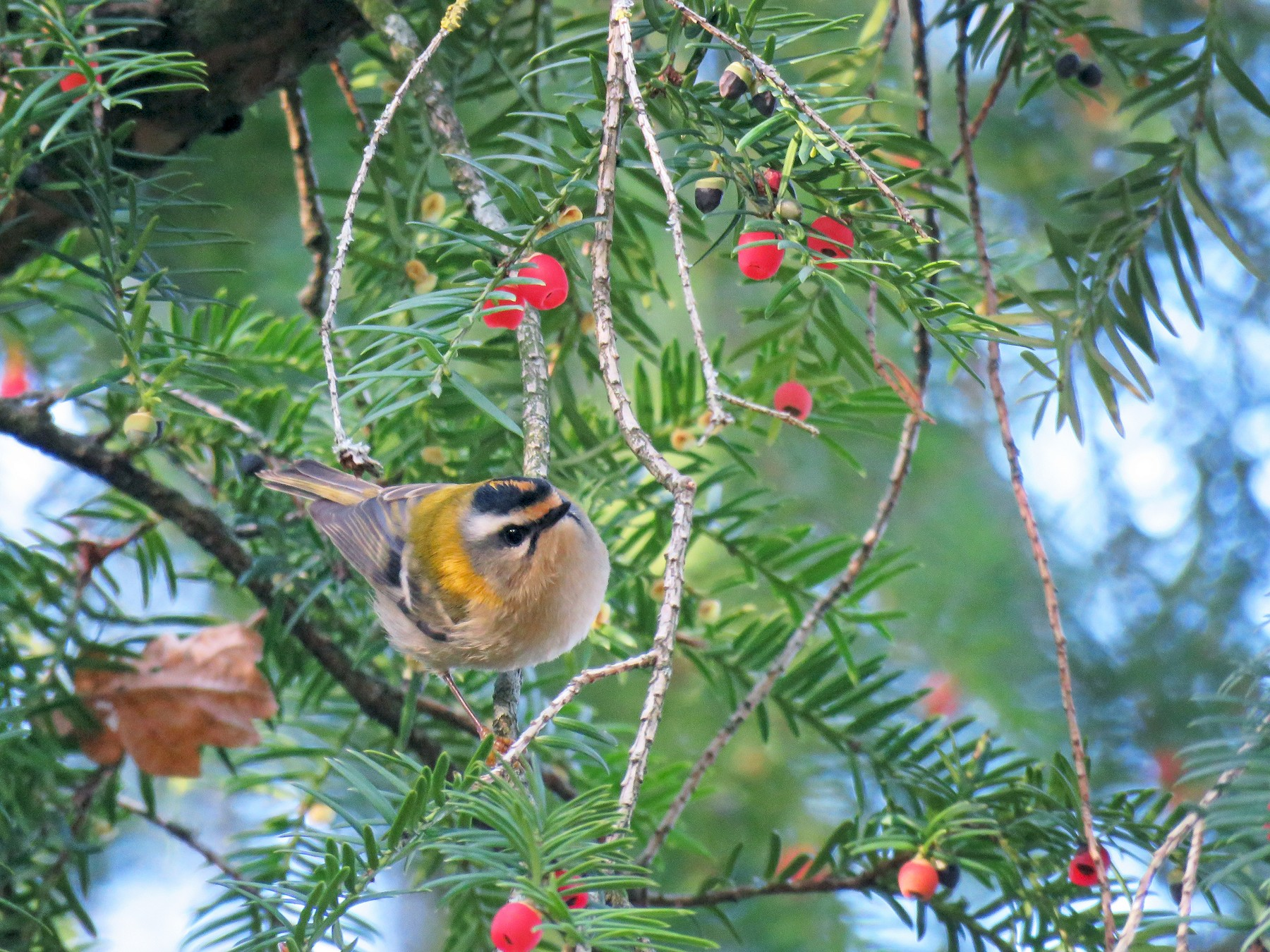 Common Firecrest - Thomas Brooks