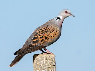 - European Turtle-Dove