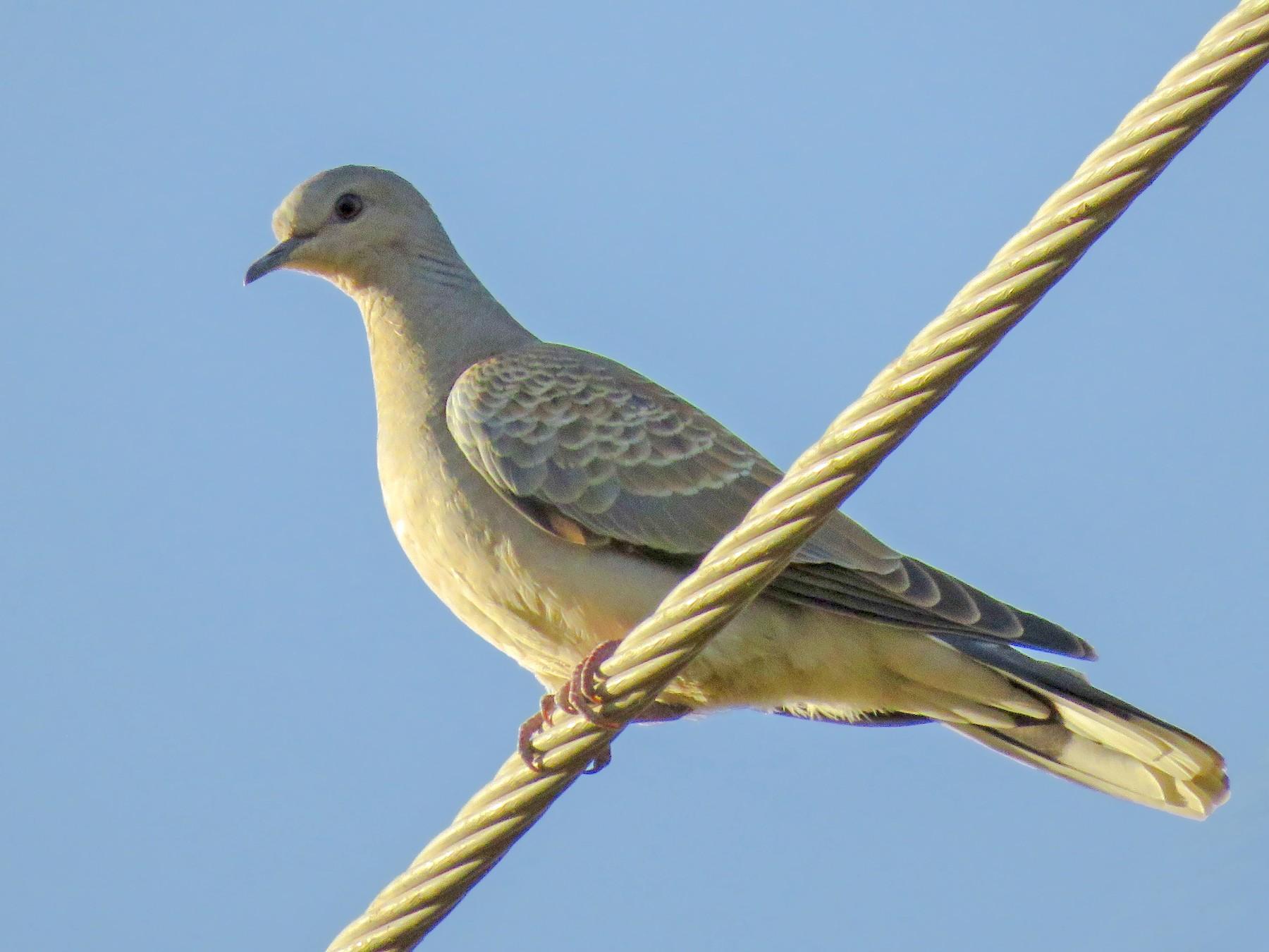 European Turtle-Dove - Dorna Mojab