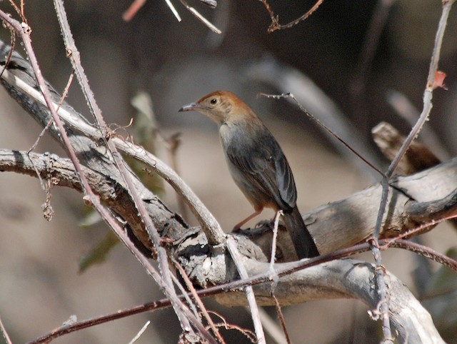 Rock-loving Cisticola (Rock-loving)