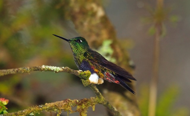 Colorful Puffleg