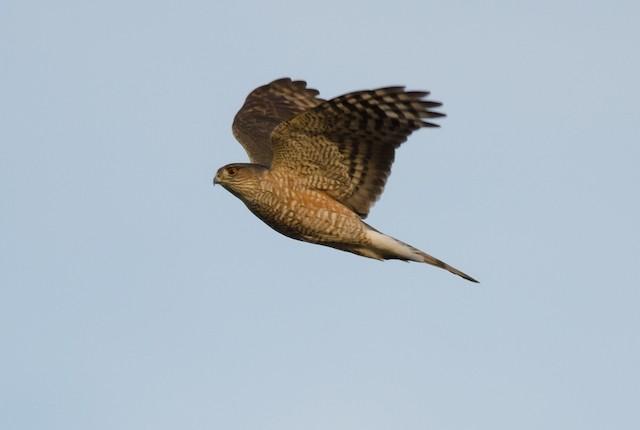 ©Alix d'Entremont - Sharp-shinned Hawk