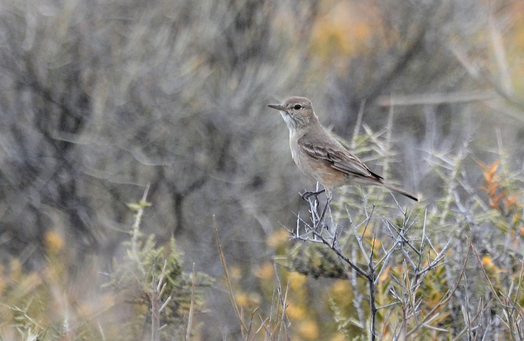 Lesser Shrike-Tyrant - David M. Bell