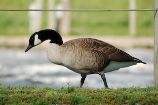 Canada Goose, ML45416401